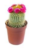 Cactus fleurissant Image stock