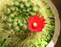 Cactus fleurissant images libres de droits