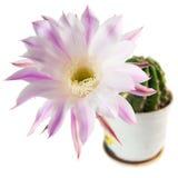 Cactus fleurissant dans un pot en céramique D'isolement sur le fond blanc Photographie stock libre de droits