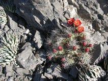 Cactus fleurissant de monticule de Mojave en canyon rouge de roche, Las Vegas, Nevada Photographie stock