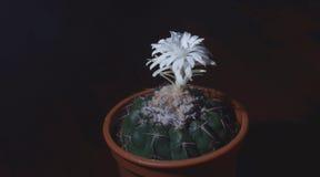 Cactus fleurissant la nuit Image libre de droits