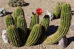 Cactus fleurissant rouge Photos libres de droits