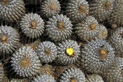 Cactus fleurissants dans le désert, parc national Llanos De Challe, Atacama, Chili Images libres de droits