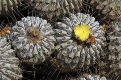 Cactus fleurissants dans le désert, parc national Llanos De Challe, Atacama, Chili Photos stock