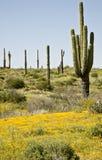 Cactus, fleurs et ciel de désert Photographie stock libre de droits