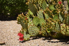 Cactus floreciente Fotos de archivo
