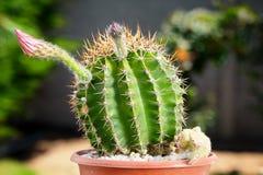 Cactus floreciente Fotografía de archivo
