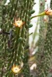 Cactus floreciente Imagen de archivo libre de regalías