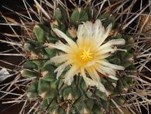 Cactus floreciente amarillo asombroso Gymnocalicium en verano imagenes de archivo
