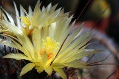 Cactus floreciente amarillo de Leuchtenbergia Principis foto de archivo