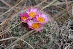 Cactus floreciente de la colmena Foto de archivo