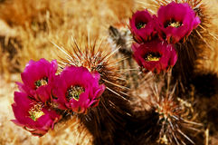 Cactus floreciente del cerdo del seto Imagen de archivo