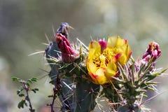 Cactus floreciente del desierto Fotos de archivo libres de regalías