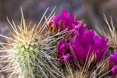 Cactus floreciente del desierto Fotos de archivo