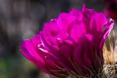 Cactus floreciente del desierto Foto de archivo libre de regalías