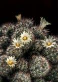 Cactus floreciente del Mammillaria Fotos de archivo