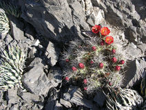 Cactus floreciente del montón del Mojave en el barranco rojo de la roca, Las Vegas, Nevada Fotografía de archivo