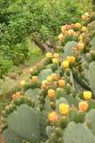 Cactus floreciente del nopal imágenes de archivo libres de regalías