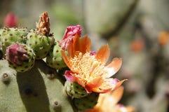 Cactus floreciente en el jardín botánico chileno fotografía de archivo libre de regalías