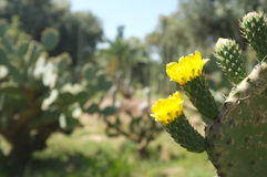 Cactus floreciente en los jardines Marrakesh Marruecos del EL Hatti imagen de archivo