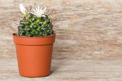 Cactus floreciente en pote imagen de archivo