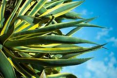 Cactus floreciente hermoso Imagen de archivo