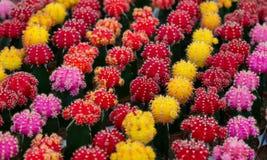 Cactus florecientes coloridos Imagen de archivo