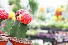 Cactus florecientes en un invernadero fotografía de archivo
