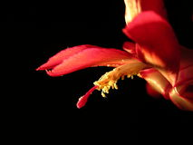 Cactus flower. Christmas cactus flower stock images