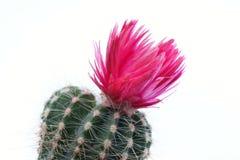 Cactus flower. Isolated on white background stock photo
