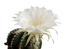 Cactus flower. On a white background stock photography