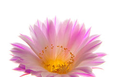 Cactus flower. Pink cactus flower isolated on white royalty free stock image