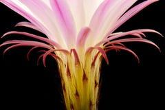 Cactus flower. Pink cactus flower isolated on black stock photo