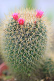 Cactus and flower. Cactus and pink flower at home garden Royalty Free Stock Photography