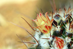 Cactus flower Royalty Free Stock Photos