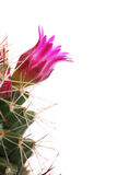 Cactus Flower. Isolate On White royalty free stock image