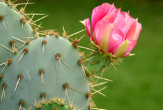 Cactus Flower. Pink blooming cactus flower on thorny cactus royalty free stock photo