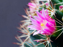 Cactus flower. This is cactus flower. It is theme of flora Royalty Free Stock Image