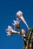 Cactus flower Stock Image