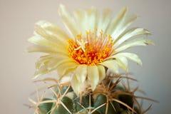 Cactus flower Royalty Free Stock Photo
