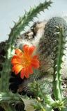 Cactus flower Royalty Free Stock Photos
