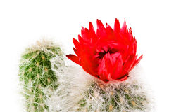 Cactus flower 3 Royalty Free Stock Image