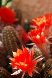 Cactus flower #3 Royalty Free Stock Photo