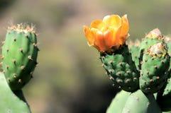 Free Cactus Flower Stock Photos - 33632453