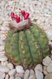 Cactus Flower. A Cactus with Flower Stock Image