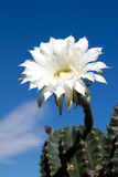 Cactus Flower. With sky on background Stock Image