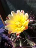 Cactus flower. Flower of cactus Royalty Free Stock Photos