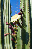 Cactus flower. A large cactus fruit flower on a tree in central Mexico Royalty Free Stock Photos