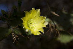 Cactus flower. A view of a bright yellow cactus flower blooming among the cactus needles. Spider web visible Royalty Free Stock Image