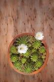 Cactus flower#6 Foto de archivo
